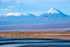 Pink flamingos are front of Volcanoes Licancabur Stock Photos