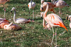 Pink Flamingos in the grass Stock Photo