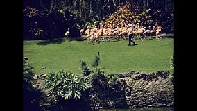 Miami park flamingos. Pink flamingos on the grass in Miami park in Florida in 70`s. Historical United States of America in 1978 stock footage