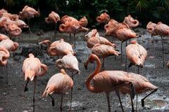Pink flamingos Royalty Free Stock Images