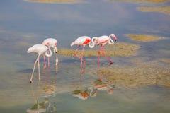 Pink flamingos Stock Photos