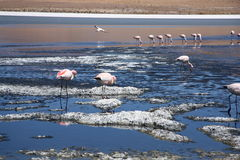 Pink flamingos in the lagoon Royalty Free Stock Photos