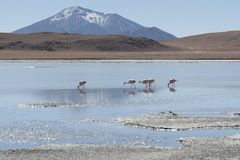 Pink flamingos at Laguna Chiarkota - Chair KKota 4700 mt is a shallow saline lake in the southwest of the altiplano of Bolivia Royalty Free Stock Photos