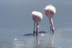 Pink flamingos at Laguna Chiarkota - Chair KKota 4700 mt is a shallow saline lake in the southwest of the altiplano of Bolivia Royalty Free Stock Photography