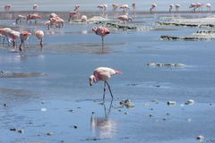 Pink flamingos at Laguna Chiarkota - Chair KKota 4700 mt is a shallow saline lake in the southwest of the altiplano of Bolivia Stock Photography