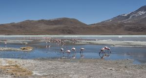 Pink flamingos at Laguna Chiarkota - Chair KKota 4700 mt is a shallow saline lake in the southwest of the altiplano of Bolivia Stock Images