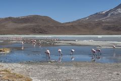 Pink flamingos at Laguna Chiarkota - Chair KKota 4700 mt is a shallow saline lake in the southwest of the altiplano of Bolivia Royalty Free Stock Photo