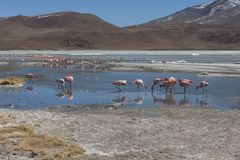 Pink flamingos at Laguna Chiarkota - Chair KKota 4700 mt is a shallow saline lake in the southwest of the altiplano of Bolivia Stock Photos