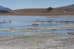 Pink flamingos at Laguna Chiarkota - Chair KKota 4700 mt is a shallow saline lake in the southwest of the altiplano of Bolivia Stock Photo