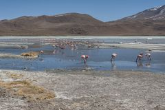 Pink flamingos at Laguna Chiarkota - Chair KKota 4700 mt is a shallow saline lake in the southwest of the altiplano of Bolivia Royalty Free Stock Images