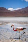 Pink flamingos in laguna Honda, sud Lipez altiplano reserva, Bol Royalty Free Stock Photos