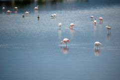 Pink flamingos on lake Royalty Free Stock Photos