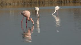 Pink flamingos on lake,phoenicopterus, beautiful white pinkish bird in pond, aquatic birds in its environment,Camargue, France. Wildlife scene,grass in stock video footage