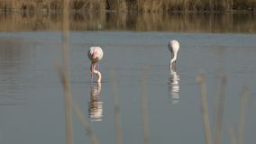 Pink flamingos on lake,phoenicopterus, beautiful white pinkish bird in pond, aquatic birds in its environment,Camargue, France. Wildlife scene,grass in stock video
