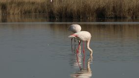 Pink flamingos on lake,phoenicopterus, beautiful white pinkish bird in pond, aquatic birds in its environment,Camargue, France. Wildlife scene,grass in stock footage