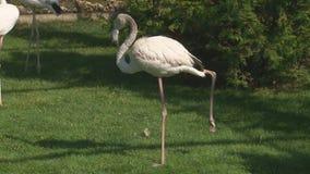 Pink flamingos stock video footage