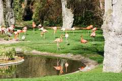 Pink Flamingos on the lawn Royalty Free Stock Images