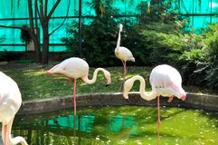 Pink flamingos lens in the animal Park. zoo royalty free stock photography