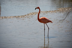 Pink flamingos Royalty Free Stock Images