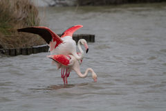 Pink Flamingos mating in Camargue Royalty Free Stock Photo