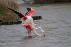 Pink Flamingos mating in Camargue Royalty Free Stock Image