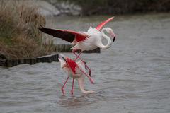 Pink Flamingos mating in Camargue Stock Images