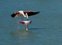 Pink flamingos matting Stock Photo