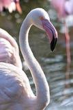 Pink Flamingos in morningsun Royalty Free Stock Photos