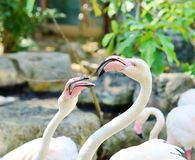 Pink flamingos in the natural habitat Royalty Free Stock Images