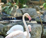 Pink flamingos in the natural habitat Royalty Free Stock Photography