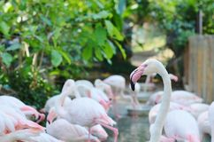 Pink flamingos in the natural habitat Royalty Free Stock Photo