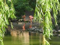 Flamingos near a Green Pond stock image
