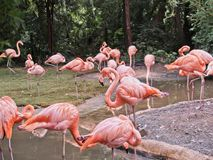 Pink Flamingos near a watering spot. Brightly colored pink flamingos gathered around a water pruning themselves while eating Royalty Free Stock Image