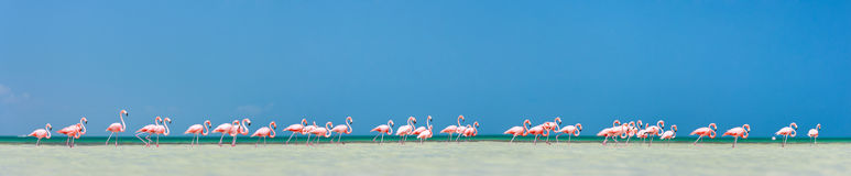 Pink flamingos panorama Royalty Free Stock Photography