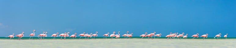 Pink flamingos panorama Royalty Free Stock Photography