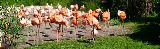 Pink Flamingos Stock Images