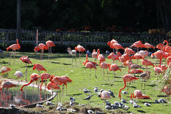 Pink flamingos. In the park Stock Photography