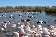 Pink flamingos Royalty Free Stock Photography