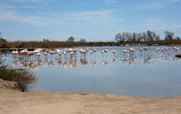 Pink flamingos Royalty Free Stock Photos