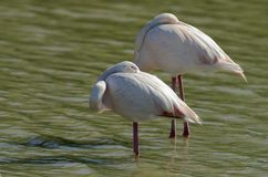 Pink flamingos (Phoenicopterus roseus) flying Royalty Free Stock Photos