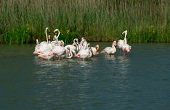 Pink flamingos (Phoenicopterus roseus) flying Royalty Free Stock Photography
