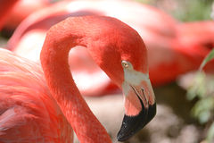 Pink flamingos. In the Pittsburgh zoo Stock Photo
