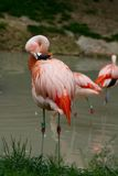 Pink flamingos on a pond Stock Image
