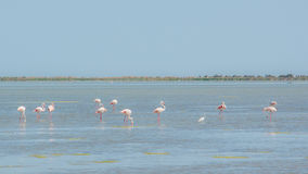 Pink flamingos in a pond in the park of Camargue Royalty Free Stock Images