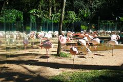 Pink flamingos are reflected in the mirrors royalty free stock photography