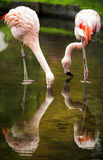 Pink flamingos and reflection in the water. Stock Photo