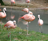 pink flamingos are resting on the bank of the pond Royalty Free Stock Photos