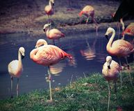pink flamingos are resting on one leg Royalty Free Stock Photo