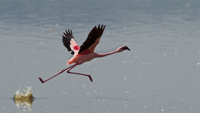 Pink flamingos run on the water Stock Photos