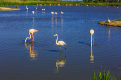 The pink flamingos in shallow duct  Rhone delta Royalty Free Stock Photography